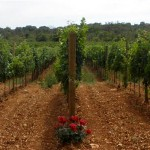 Meneghetti-vinograd