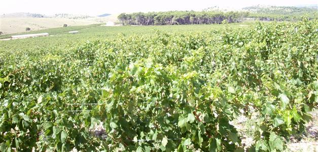 1-Vinoplod-vinograd