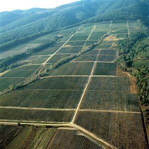 4-Kutjevo-vinogradi