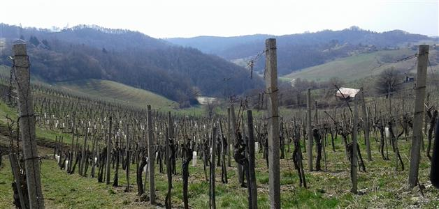 1-Bizeljsko-vinograd