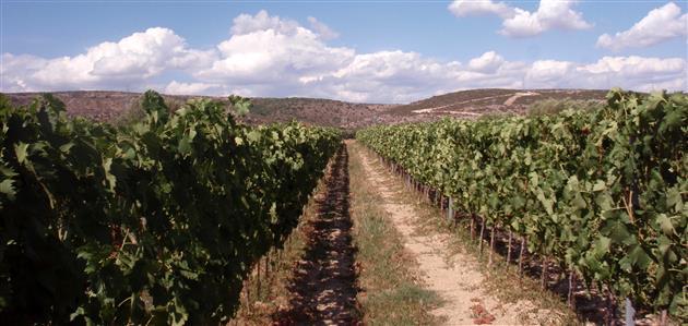 Maleš-vinogradi-u-Danilo-polju