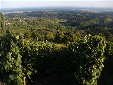 Ivančić-vinograd