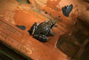 Močvarna-smeđa-žaba
