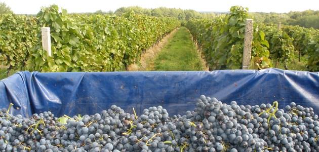 Feravino-vinograd-Srednjak