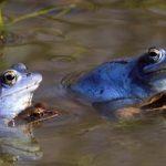 Žabe-močvarne smeđe