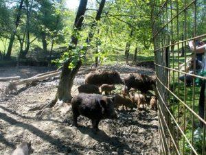 Divlje-svinje-OPG-Perhoč