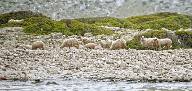 Kornati-ovce